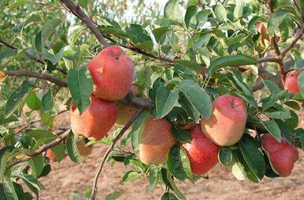 apple tree. (Sub Pop) » apple-tree