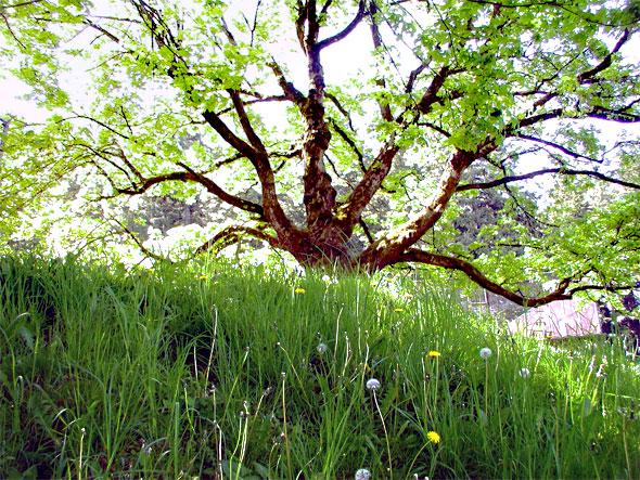 Oak Tree on east side of Mt. Tabor