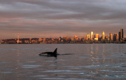 Orca in Elliot Bay with Seattle skyline